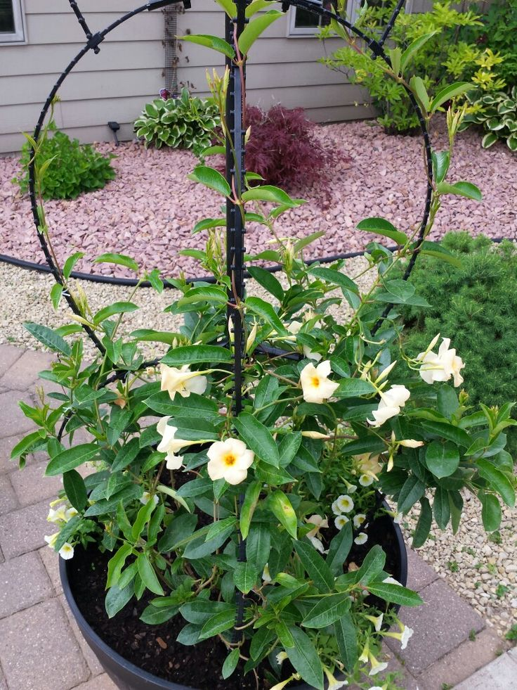 Growing Mandevilla: 18 Best Front Porch Ideas, Huge Flowers Growing On