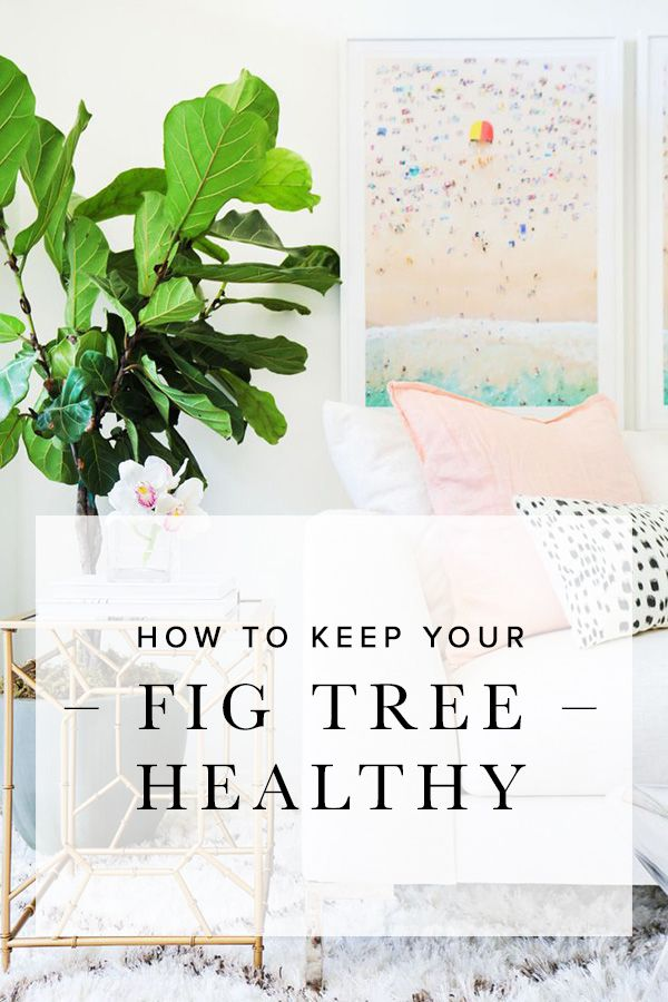 Fiddle leaf fig trees are the go-to plant for interior designers, and they tend…