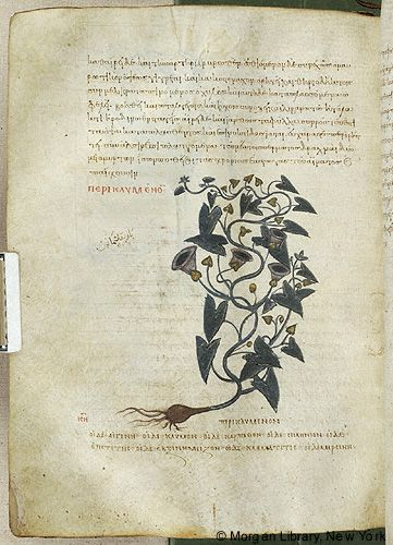De materia medica, MS M.652 fol. 135v - Images from Medieval and Renaissance Manuscripts - The Morgan Library & Museum