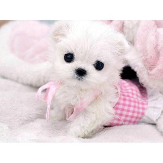 This little Maltese puppy almost looks like a stuffed toy ...