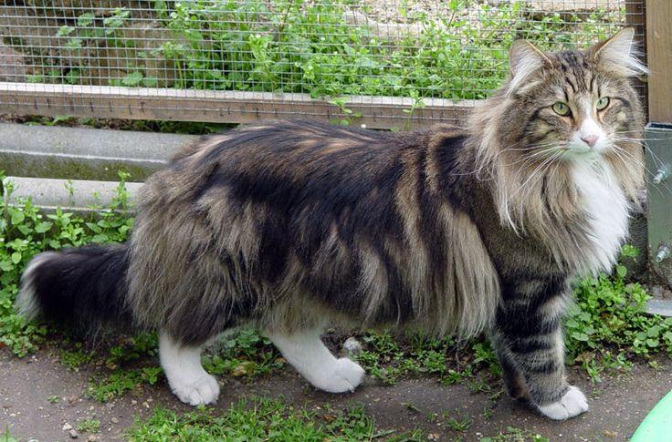 Bosque de Noruega Norwegian forest cat, Beautiful cats