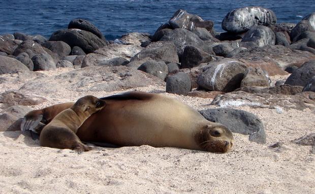 O maior animal achado nas areias de Galápagos é o leão-marinho. Durante a temporada de acasalamento o macho dominante patrulha a praia e espanta qualquer concorrente que tente tomar o seu posto. As mães assistem a tudo tranquilamente, enquanto cuidam de seus filhotes. Alimentam-se basicamente de sardinhas e podem sofrer com eventos causados pelo El Niño, que diminui drasticamente o número de suas presas, fazendo com que vários filhotes morram de fome: http://abr.io/4g3r