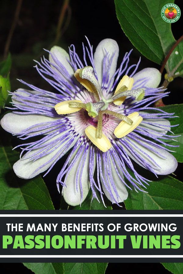 The Passionflower Passiflora Incarnata Also Known As The Purple Passion Flower Is A Gorgeous Flower With Ma Passion Flower Purple Passion Flower Passiflora