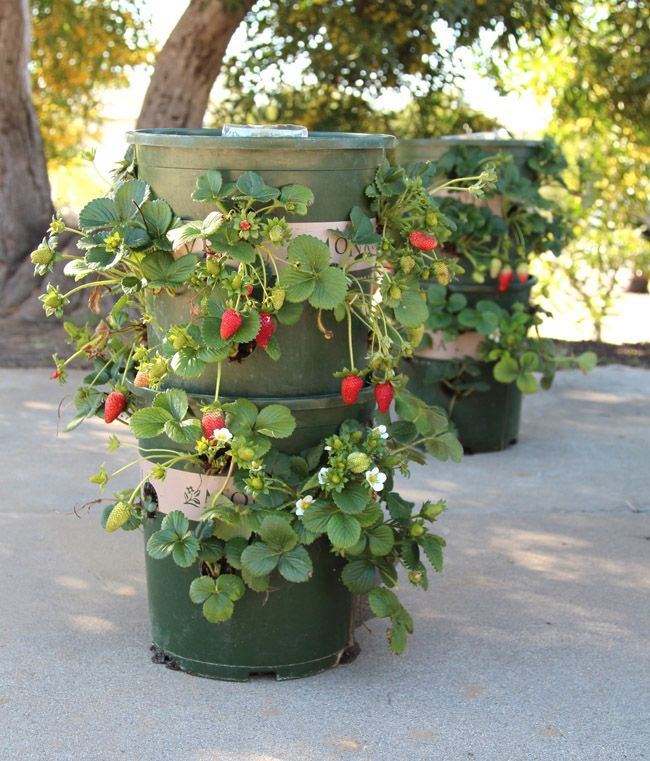 This is the Smartest Way to Grow Strawberries At Home This DIY strawberry tower has a built-in water source AND is made from recycled materials.