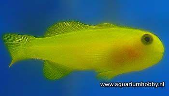 Gobiodon okinawae Nederlandse naam: okinawae koraalgobie. Grootte: tot ca. 3 a 4 cm. Habitat: Leeft in groepen tussen de takken van o.a. Acropora koralen. Houdbaarheid: Goed houdbaar. Reefsafe: Ja, pikt soms aan acropora's maar vrijwel altijd zonder blijvende schade. Agressie: Niet agressief. Voedsel: Plancton. Aquarium: Accepteert fijn zwevend voer. Is goed houdbaar. Liefst in aquaria met acropora's of andere gewei koralen.