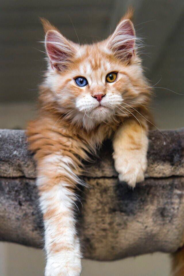 Cat❤️ http://www.mainecoonguide.com/how-to-keep-a-maine-coon-growth-chart/