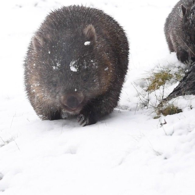 Womabts playing in the fresh snow at Cradle Mountain this week via http://buff.ly/1G8l7q5?utm_content=bufferf1534&utm_medium=social&utm_source=pinterest.com&utm_campaign=buffer #Tasmania