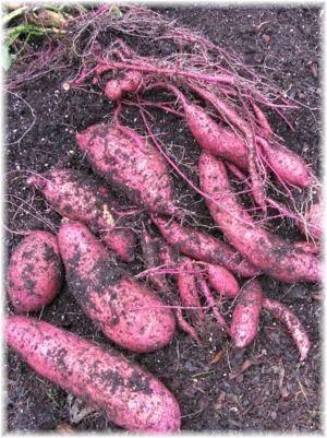 Sweetpotatoes: The Vegetable Garden's Superfood