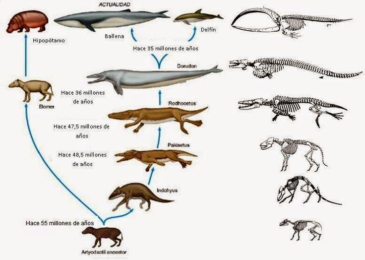 http://biogeotesttoni.blogspot.com.es/2015/03/4-eso-tema-9-evolucion-biologica.html