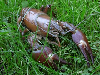 earlybirder: Signal Crayfish: an ecological threat to rivers in...
