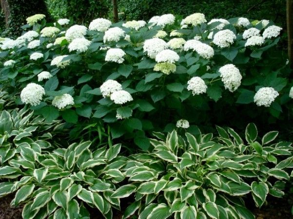 The most striking combinations include variegated hostas because providing a color accent emphasizes the amazing foliage patterns. White flowers make white-variegated leaves look sharper