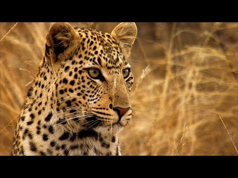 Intense Yet Funny! Young Leopard Steals Kill From Mother - David Attenborough : Video Clips From The Coolest One