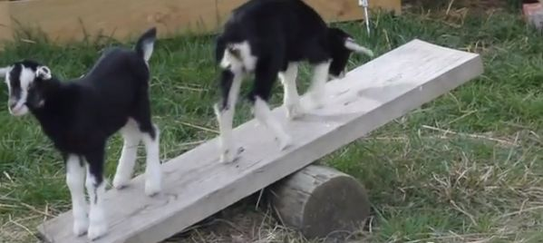 Furnish your goat's playground with a seesaw! Place a large cylinder of wood on the ground and rest a thick wood board on the cylinder. Consider covering the top of the wood board with textured door