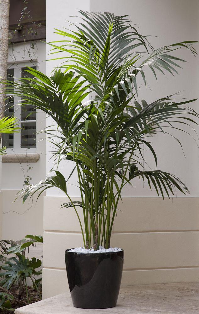 A Premium Plant Kentia Palm Is An Elegant Plant That 640 x 480