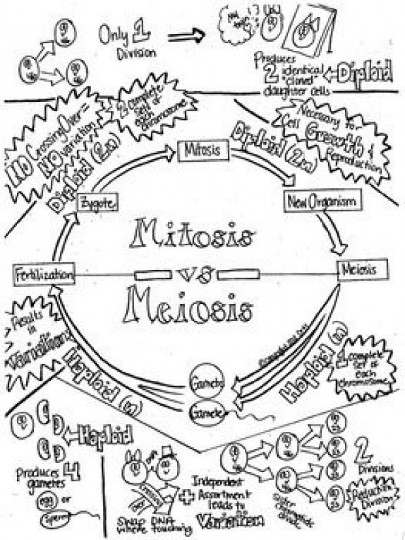 Mitosis vs.Meiosis Sketch Notes W/Teacher's Guide