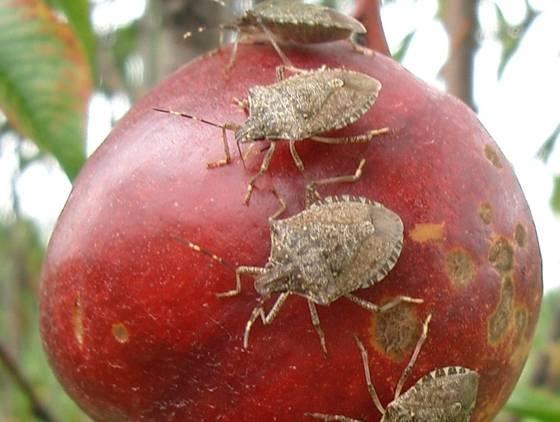 Stink bugs plot foul-smelling return