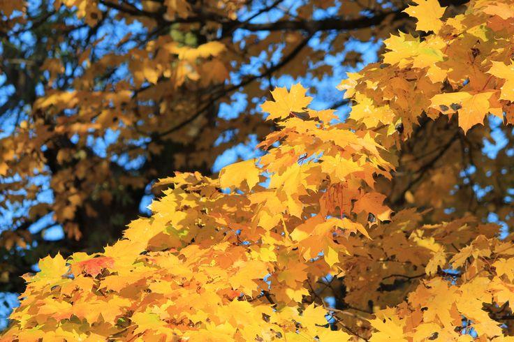 Gorgeous Fall foliage in Niagara on the Lake