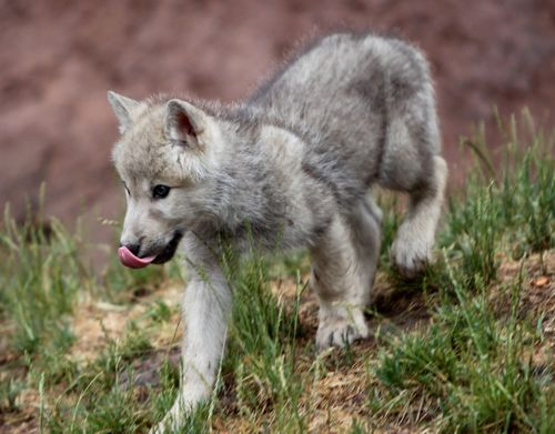 Wolf pup (by Gabe Ginsberg).