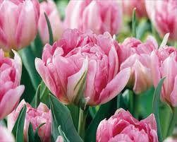 tulp 'Peach Blossom' - blijvertje
