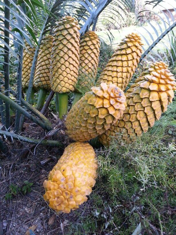 Encephalartos vilosus with 9 female cones August 2014