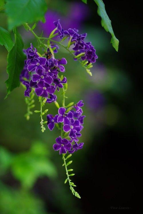 Green & purple. skyflower. Duranta erecta is a species of flowering shrub in the verbena family Verbenaceae, native from Mexico to South America and the Caribbean.
