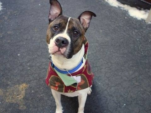 SAFE - 02/22/15 by Rebound Hounds --- Manhattan Center   DYLAN - A1026965  NEUTERED MALE, WHITE / BR BRINDLE, BOXER / PIT BULL, 5 yrs OWNER SUR - EVALUATE, NO HOLD Reason OWN EVICT  Intake condition EXAM REQ Intake Date 02/01/2015,  https://www.facebook.com/photo.php?fbid=957967984216081