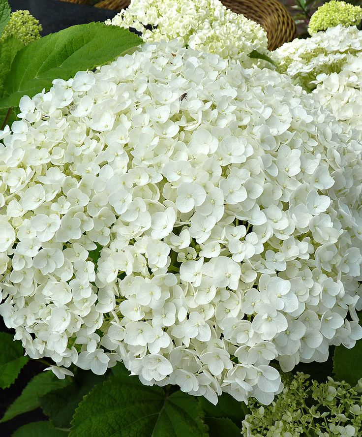 Hortensia 'Strong Annabelle' | close view