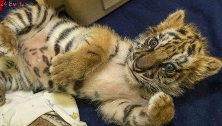 Seorang Remaja AS Tepergok Selundupkan Anak Harimau dari Meksiko
