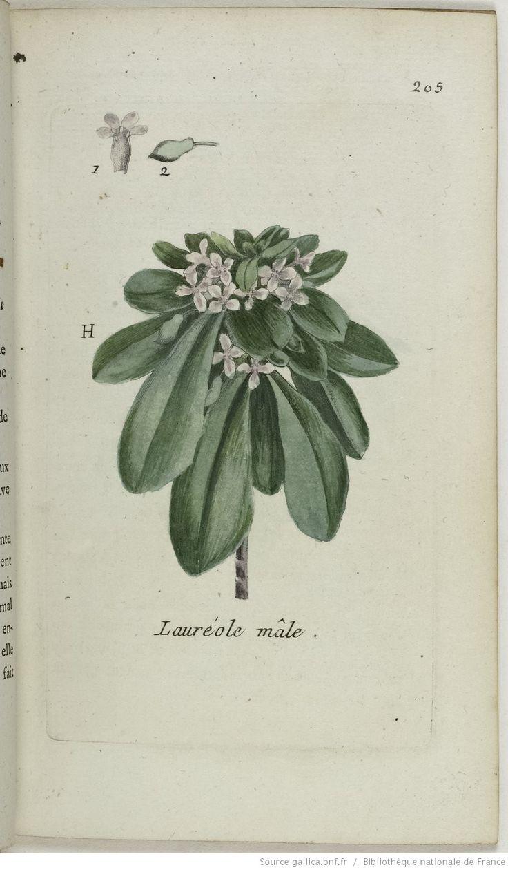 DAPHNE - Daphne laureola. La lauréole mâle / La lauriole / La Lauroelle / Le garou / Le laurier des bois