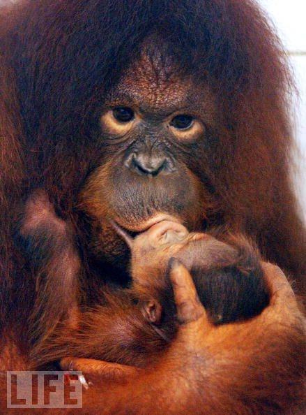 Big Kiss for the Baby Orangutan