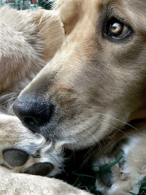 Labrador Retriever, Dogs Pics, Baby Boys, Baby Dogs, Beautiful Eye, Dogs Portraits, Animal, Pets Food, Golden Retriever