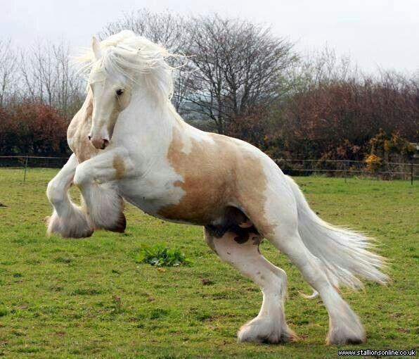 Palomino Gypsy Vanner Horse Horses My Spirit Animal
