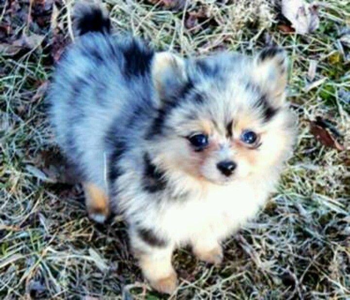 Merle pomeranian and a shepherd dog, matching! | My new ...