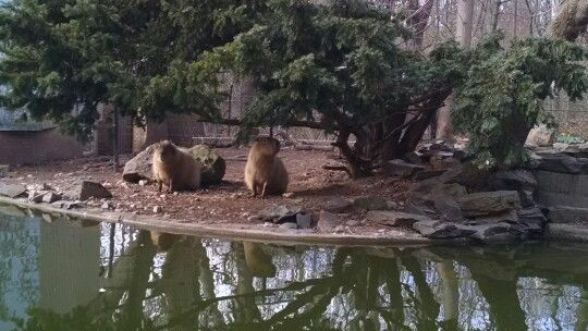 Capybara # biggest rodent in the world
