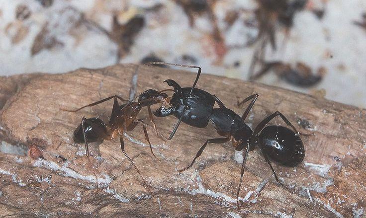 Почему муравьи — крутые, и зачем тебе муравьиная ферма