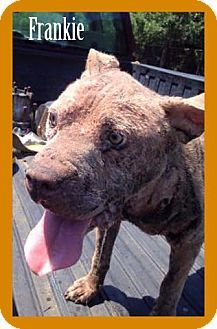 ●9•10•16 SL●Pit Bull Terrier Dog for adoption in New York, New York - Frankie was scrounging for food in rural NC & was found severely injured with gaping wounds, gashes, & holes throughout his body. Once he recovers from his ordeal he will be available for adoption at Rescue Dogs Rock.