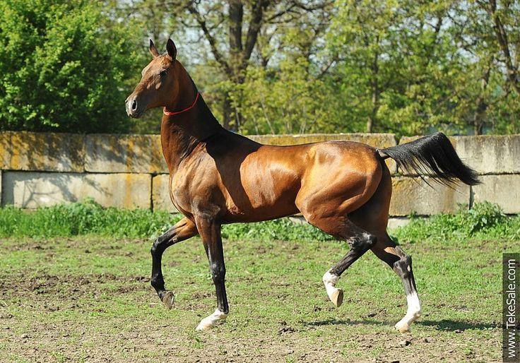 Akhal-teke horses for sale - Sogap-Kan(Pamel-Kan - Sabyrli)