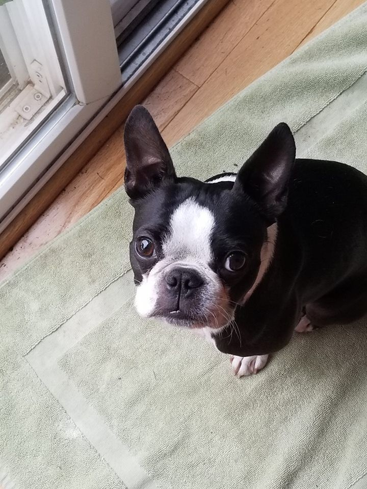 This Is Ollie From Virginia Boston Terrier Super Cute Animals