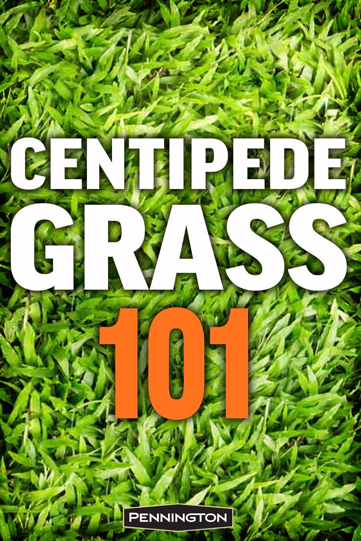 Centipede Grass Is Known For Its Excellent Heat Tolerance And Extremely Low Maintenance Requirements Centipede Gras Centipede Grass Grass Care Best Grass Seed