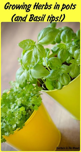 Growing herbs in pots and tips on growing healthy basil indoors!