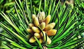 ZOLA TRICKS: 6 Most Amazing Benefits Of Pine Nuts