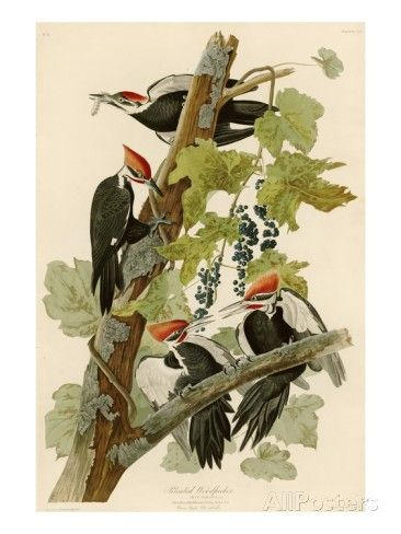 Pileated Woodpecker Giclee Print by John James Audubon at AllPosters.com