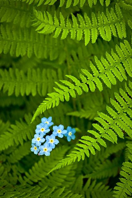https://flic.kr/p/857bUf | Forget-Me-Not Ferns | View On Black  Forget-Me-Nots…