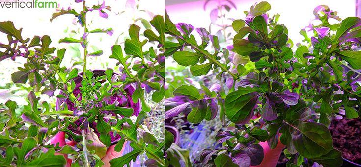 Rucola is een ideale bladgroente om te kweken. Het groeit snel en je kan het bijna het hele jaar door zaaien.