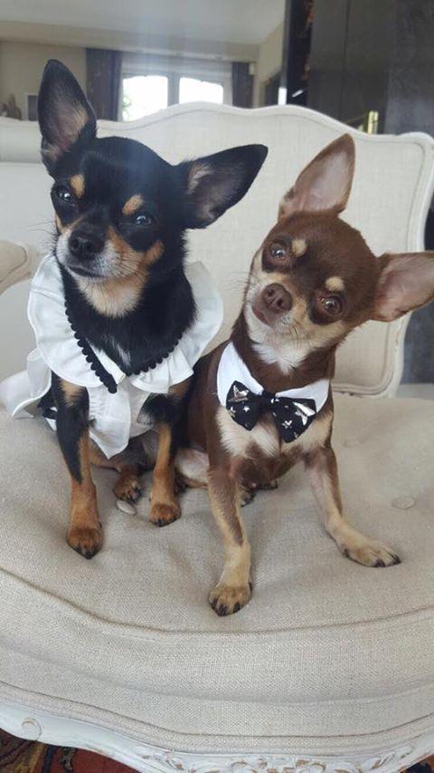 Les chihuahuas sont prêts pour le mariage de leurs parents. Magnifique !