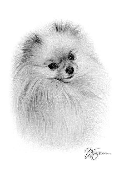 Pomeranian dog pencil drawing thumbnail   Daily dogs   Pinterest ...