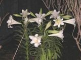 Easter Lily - care and planting