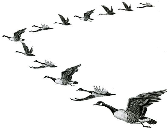 Geese form V's in the Fall Sky ~ Bird Migration