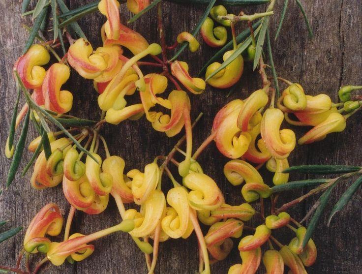 Grevillea Tucker Time Peach Blush --- For more Australian native plants visit austraflora.com.au