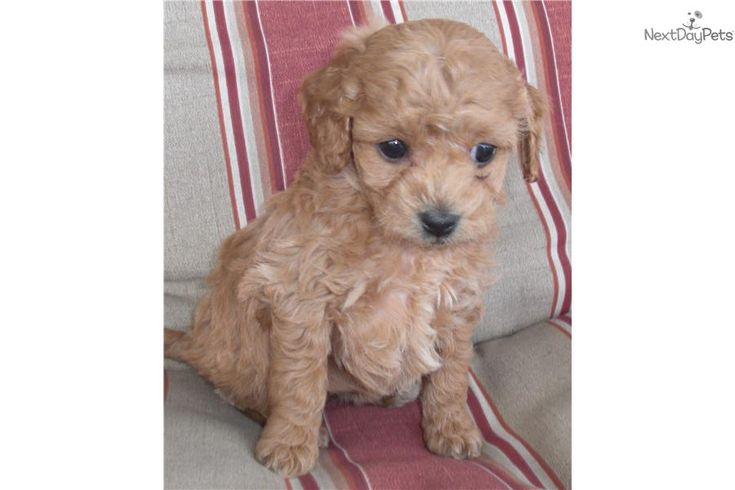 Cockapoo puppy for sale near Louisville, Kentucky | 3ffb563d-cb71
